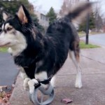3D-nyomtatott lábat kapott Derby, a mozgássérült kutya