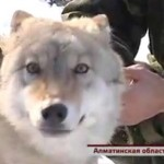 Photo: Farkasok veszik át a házőrzők helyét kazahsztáni falvakban