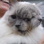Meghalt a világ legöregebb kétarcú macskája
