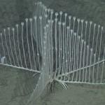 Egy különleges kinézetű mélytengeri élőlény – a hárfaszivacs