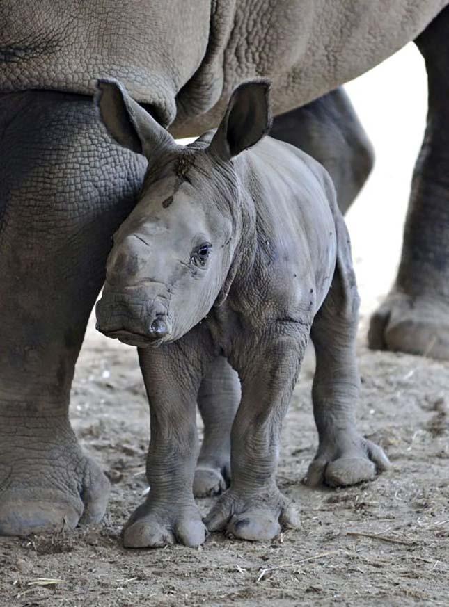 Fehér rinocéroszborjú Tel-Avivban