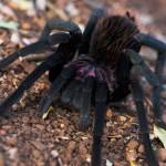 Tarantula pók vedlése egy rendkívüli videón