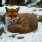 Photo: Különleges bundájú rókák