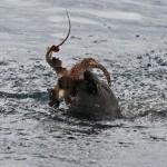 Ritka felvétel egy polipra vadászó barátfókáról