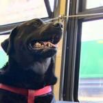 Gazdája nélkül buszozik el a parkba egy kutya Seattle-ben
