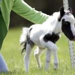 Einstein, a világ egyik legkisebb lova