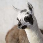 A Gyöngyösi Állatkert háromnapos kis lámája