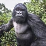 Részeg gorilla támadt a fotósra