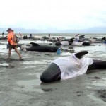 140 gömbölyűfejű delfin pusztult el Új-Zélandon