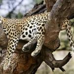 2007 óta megduplázódott, 35-ről 70-re nőtt az amuri leopárdok száma