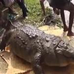 Halálra etették a hívek egy bangladesi szentély 100 éves krokodilját