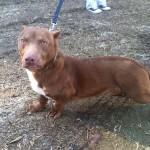 Rami, a szokatlan külsejű tacskó-pitbull keverék kutya