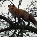 Fára mászott a Hortobágyi Nemzeti Park rókája