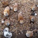 A rókák faluja Japánban