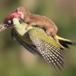 Photo: Hihetetlen fotó: Egy madár hátán repült a menyét