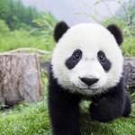 Emelkedett a vadon élő óriáspandák száma