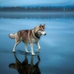 Szibériai husky a befagyott tavon