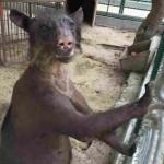 Photo: Borzalmas körülmények között tartott, megkopaszodott medvét szabadítottak ki egy perui cirkuszból