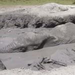 Sárgödörbe esett elefántot mentettek meg Kenyában