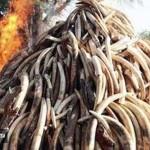 Tizenöt tonna elefántcsontot égettek el Kenyában