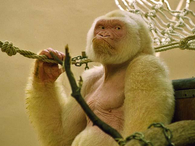 Snowflake - Barcelona White Gorilla