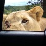 Frászt kaptak az utasok, mikor egy oroszlán kinyitotta a kocsiajtót egy szafarin