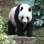 Nagy összegű kártérítést kapott egy kínai férfi, akit megtámadott egy panda