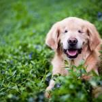 Terápiás kutyaként segít az embereken Smiley, a szemek nélkül született kutya
