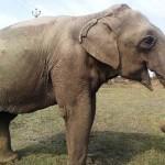 60 éves, megvakított elefántot szabadítottak ki az állatvédők Indiában