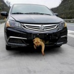 400 kilométert utazott a lökhárítóba ragadva egy elütött kutya