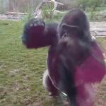 Frászt hozta a látogatókra a védőüveget betörő gorilla