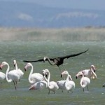 Photo: Ritka fekete flamingót filmeztek le Cipruson