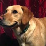 Egy labrador, aki mosolyog, ha fényképezőgépet lát