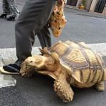 Óriásteknősét sétáltatja egy idős férfi Japánban