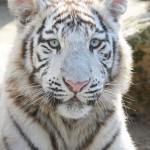 Két fehér tigris érkezett a Nyíregyházi Állatparkba