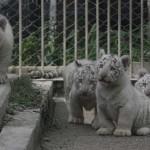 A testvérei mentették ki a vízbe esett kis fehér tigrist