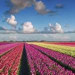 Színpompás légifelvétel a holland tulipánmezőkről