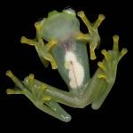 Átlátszó békát fedeztek fel a Costa Rica-i esőerdőben