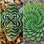 20 gyönyörű geometriai formát alkotó növény
