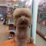 Kocka és gömbfejű kutyafrizuratrend hódít Tajvanon