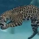 Víz alatt vadászó jaguár – lenyűgöző videó