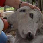 Kétfejű borjú született egy floridai farmon