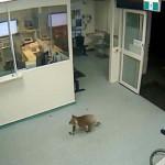 Koala sétált be egy ausztrál kórházba