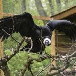 Ritka kondorkeselyű érkezett a Nyíregyházi Állatparkba