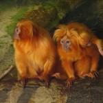 Rendkívül ritka majmokat loptak el egy francia állatkertből