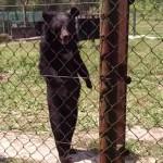 Egy medve, aki úgy sétálgat, mint egy ember