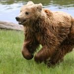 Barna medve kószál Rudabánya térségében