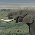 A nagytestű növényevő állatok 60 százalékát fenyegeti a kihalás veszélye