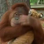 Három tigriskölyökről gondoskodik egy orangután