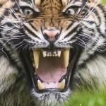 Szumátrai tigris érkezett a Nyíregyházi Állatparkba